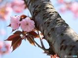 公園の春ー胴吹き八重桜