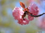 公園の春ー八重桜