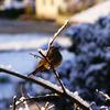 樹氷の鳥、朝日に照らされて