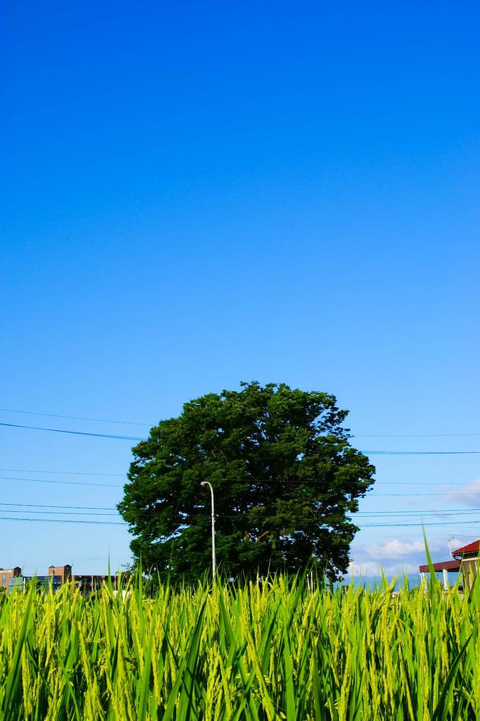 一本木と稲
