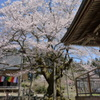 明日(あけび)の大桜