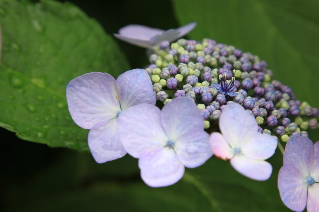 雨には紫陽花が似合う