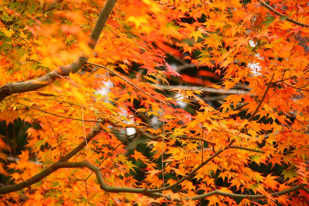 極楽寺山の紅葉