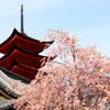 宮島のしだれ桜