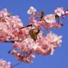 めじろと河津桜