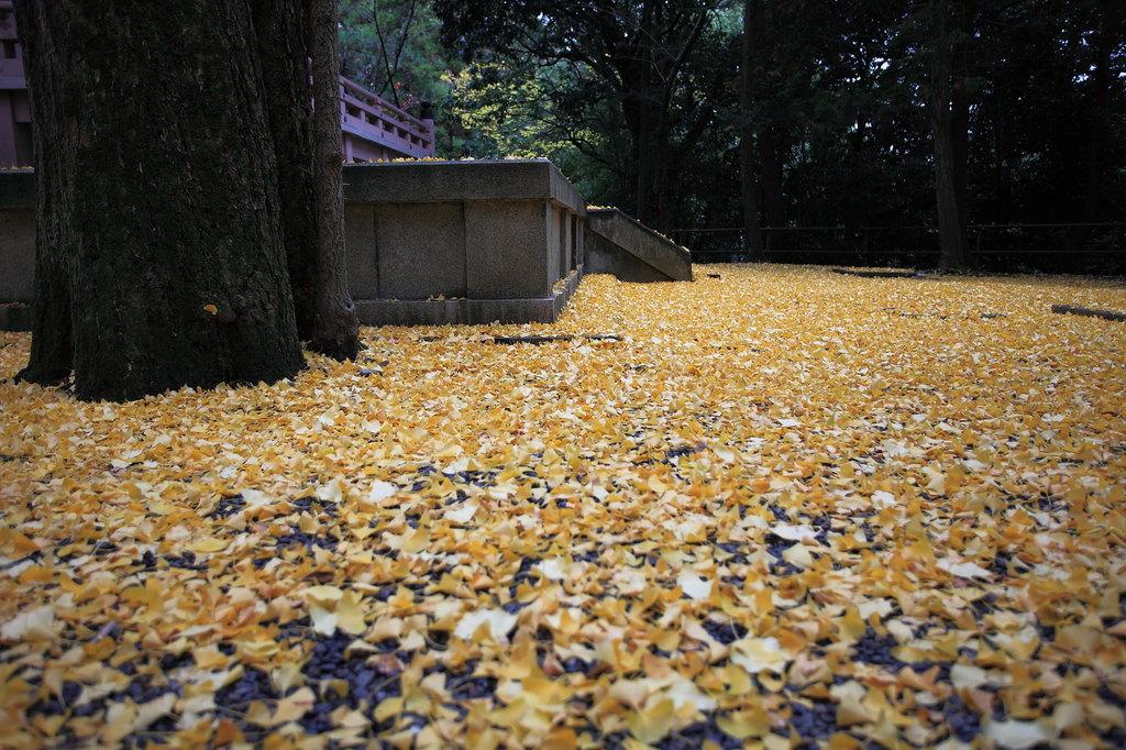 黄金色の銀杏落葉・・・