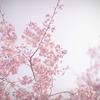 桜のキヲク_01