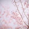 桜のキヲク_03