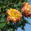 庄堺公園のバラ