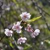 遅咲きの桜@山中温泉