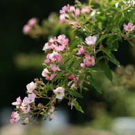 SONY DSLR-A900で撮影した植物(バレリーナ (Rosa 'Ballerina'))の写真(画像)