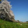 京都・背割堤の桜並木