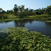 バラ庭園のハス池