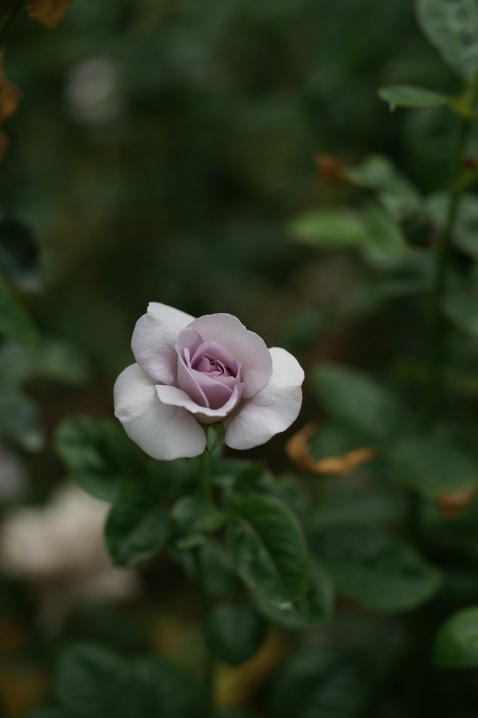ブルー・バユー (Rosa Blue Bajou)