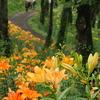 ユリの咲く小道