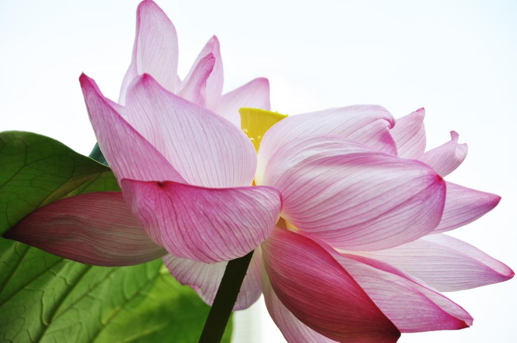 咲いた咲いたハスの花