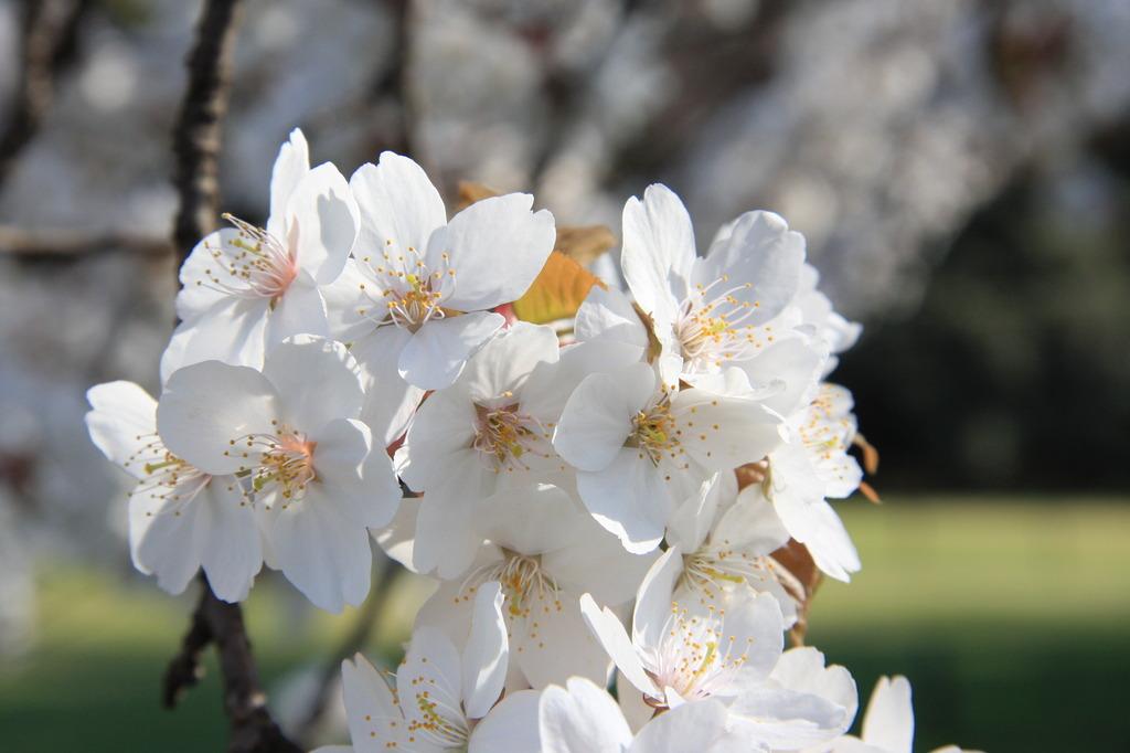 4月の桜~懐かしいなぁ