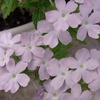 花 バーベナ