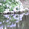 水面に写る紫陽花