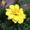 玄関に咲く花