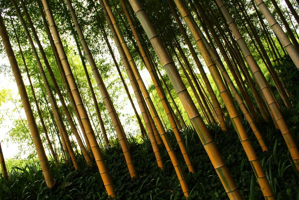 一斉に、竹。