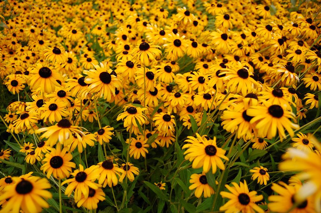 Die sich nach Sonne richtenden Blumen