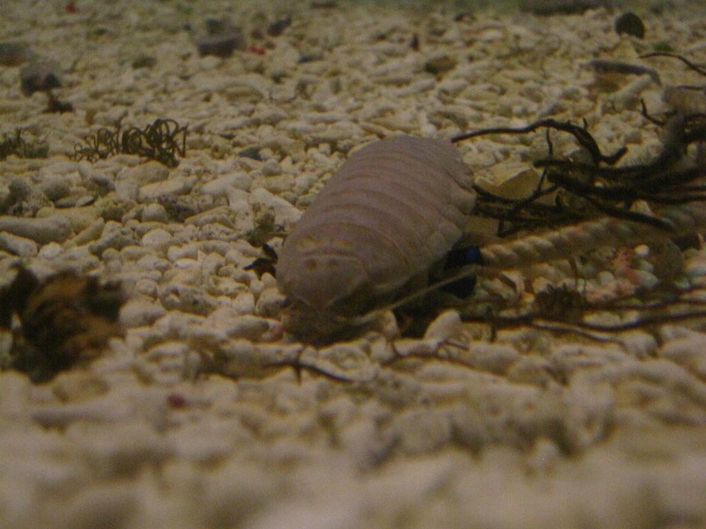 海の団子虫