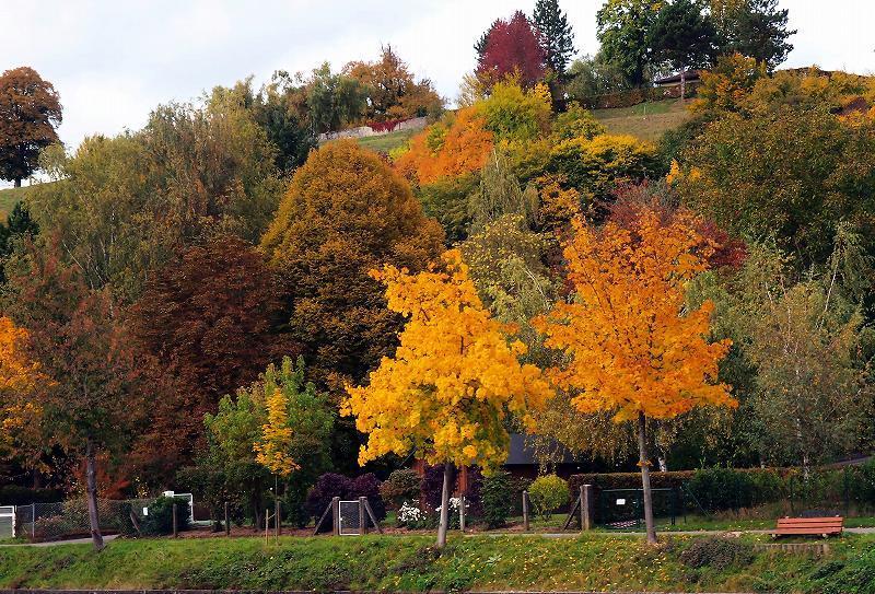河畔の黄葉