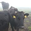 霧の中の牛