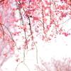だらんと桜