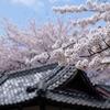 2010年桜の写真_05
