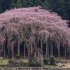 2010年桜の写真_01