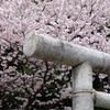 2010年桜の写真_03