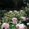 初夏に咲くバラ