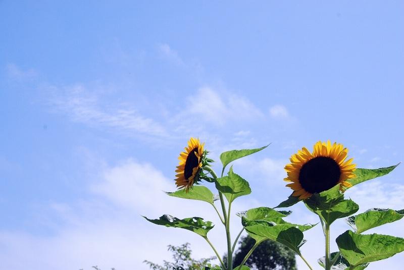 ひまわりと初夏の空