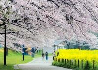 NIKON NIKON D5300で撮影した(桜空)の写真(画像)