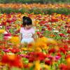 ジニアの花畑