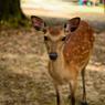 別嬪鹿さん