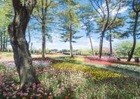 ひたち海浜公園/たまごの森フラワーガーデンの満開のチューリップ