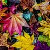 笛吹キャンプ場の掃き集められた紅葉の落葉