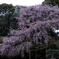 桜花繚乱…