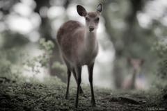 夏毛の美鹿