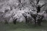 儚き佐保の桜