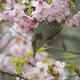 『ヒヨドリと桜』