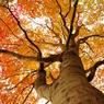 紅葉樹 その2