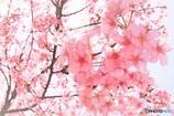 春満開(^^♪河津桜さん(*´▽`*)