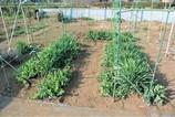 エンドウ豆支柱立て