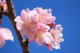 青空と河津桜