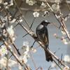 我が家の梅に、鳥さんが来ました(^^)/
