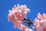 青空と河津桜Ⅱ